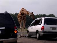 Giraffe_licking_car_1